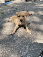 American Staffordshire Terrier Puppies for sale in Shawnee, KS, USA. price: NA