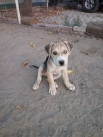 American Staffordshire Terrier Puppies for sale in McKittrick, CA, USA. price: NA
