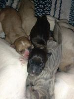 American Staffordshire Terrier Puppies for sale in Manchester, NH, USA. price: NA