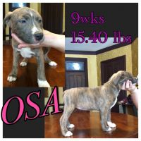 American Staffordshire Terrier Puppies for sale in Ashland, OH 44805, USA. price: NA