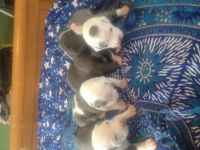 American Staffordshire Terrier Puppies for sale in Poughkeepsie, NY, USA. price: NA