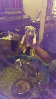 American Staffordshire Terrier Puppies for sale in Dumas, AR, USA. price: NA