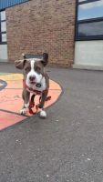American Staffordshire Terrier Puppies for sale in Ann Arbor, MI, USA. price: NA