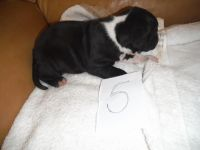 American Staffordshire Terrier Puppies for sale in California, USA. price: NA