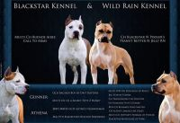 American Staffordshire Terrier Puppies for sale in Tacoma, WA, USA. price: NA