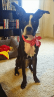 American Staffordshire Terrier Puppies for sale in Dallas, TX, USA. price: NA