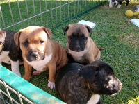 American Staffordshire Terrier Puppies for sale in Carlsbad, CA, USA. price: NA
