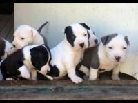 American Staffordshire Terrier Puppies for sale in Adams, NY 13605, USA. price: NA