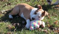American Staffordshire Terrier Puppies for sale in Provo, UT, USA. price: NA