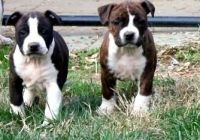 American Staffordshire Terrier Puppies for sale in Los Angeles, CA, USA. price: NA