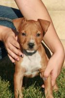 American Staffordshire Terrier Puppies for sale in Nashville, TN, USA. price: NA