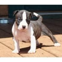 American Staffordshire Terrier Puppies for sale in Arden, DE 19810, USA. price: NA