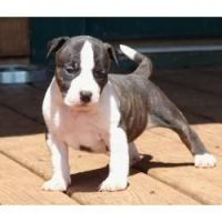 American Staffordshire Terrier Puppies for sale in New York, NY, USA. price: NA
