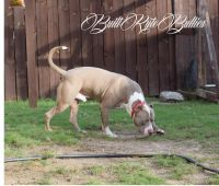 American Staffordshire Terrier Puppies for sale in Columbus, GA, USA. price: NA