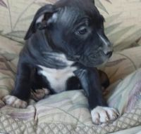 American Staffordshire Terrier Puppies for sale in Daly City, CA, USA. price: NA