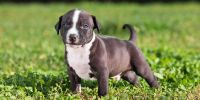 American Staffordshire Terrier Puppies for sale in Richmond, VA, USA. price: NA