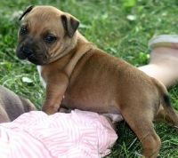 American Staffordshire Terrier Puppies for sale in Stevinson, CA 95374, USA. price: NA