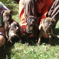 American Staffordshire Terrier Puppies for sale in Springwater, NY, USA. price: NA
