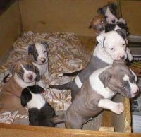 American Staffordshire Terrier Puppies for sale in New Hampshire Ave, Toms River, NJ 08755, USA. price: NA