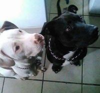 American Staffordshire Terrier Puppies for sale in Cincinnati, OH 45205, USA. price: NA