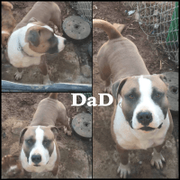 American Staffordshire Terrier Puppies for sale in 23223 W Broad St, Henrico, VA 23233, USA. price: NA