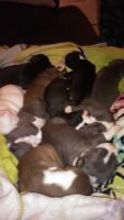 American Staffordshire Terrier Puppies for sale in Louisville, KY 40214, USA. price: NA
