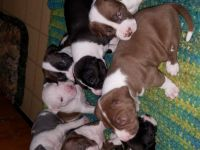 American Staffordshire Terrier Puppies for sale in Marne, MI 49435, USA. price: NA