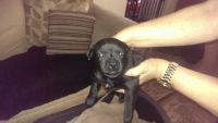 American Staffordshire Terrier Puppies for sale in Lansing, MI, USA. price: NA