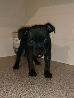 American Staffordshire Terrier Puppies for sale in San Francisco, CA 94124, USA. price: NA