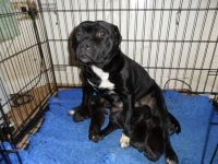 American Staffordshire Terrier Puppies for sale in Round Rock, TX 78664, USA. price: NA