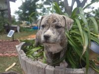 American Staffordshire Terrier Puppies for sale in Redondo Beach, CA 90277, USA. price: NA