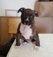 American Staffordshire Terrier Puppies for sale in Russell Springs, KY 42642, USA. price: NA