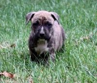 American Staffordshire Terrier Puppies for sale in Winston-Salem, NC, USA. price: NA