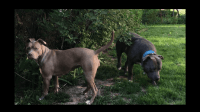 American Staffordshire Terrier Puppies for sale in Gary, IN, USA. price: NA
