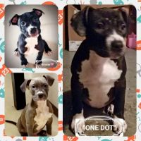 American Staffordshire Terrier Puppies for sale in Kansas City, MO 64152, USA. price: NA
