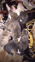 American Staffordshire Terrier Puppies for sale in Hesperia, CA, USA. price: NA