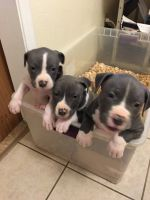 American Staffordshire Terrier Puppies for sale in Clovis, CA, USA. price: NA
