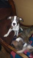 American Staffordshire Terrier Puppies for sale in Chelsea, MI 48118, USA. price: NA