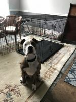 American Staffordshire Terrier Puppies for sale in Waldorf, MD, USA. price: NA