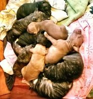 American Staffordshire Terrier Puppies for sale in Grand Rapids, MI, USA. price: NA