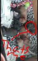 American Staffordshire Terrier Puppies for sale in Detroit, MI, USA. price: NA