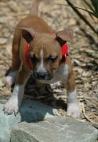 American Staffordshire Terrier Puppies for sale in Fargo, ND, USA. price: NA