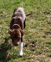 American Staffordshire Terrier Puppies for sale in Deer Park, WA 99006, USA. price: NA