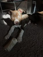 American Staffordshire Terrier Puppies for sale in Oldsmar, FL, USA. price: NA