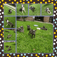 American Staffordshire Terrier Puppies for sale in Richmond, TX, USA. price: NA