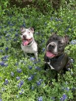 American Staffordshire Terrier Puppies for sale in Austin, TX, USA. price: NA