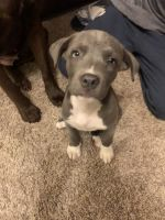 American Staffordshire Terrier Puppies for sale in Columbia, MS 39429, USA. price: NA