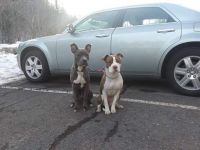 American Staffordshire Terrier Puppies for sale in Duluth, MN 55805, USA. price: NA