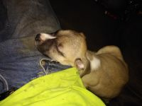 American Staffordshire Terrier Puppies for sale in Waterford Twp, MI, USA. price: NA