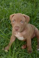 American Staffordshire Terrier Puppies for sale in Clover, SC 29710, USA. price: NA